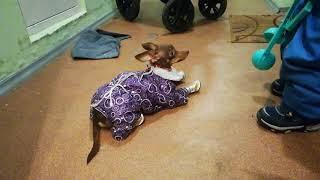 Ботинки для собачки Джесси той-терьер