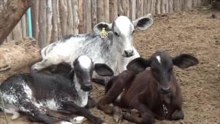 Produção leiteira com Manejo do pasto, gera resultados gratificantes de 400 Litros de leite ao dia