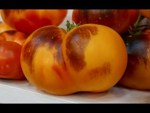 Tomato Breeding with Brad Gates of Wild Boar Farms from The Permaculture Student Online