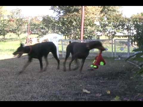 Black Doberman Puppies