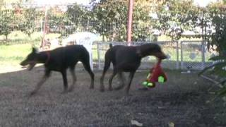 Doberman Puppies Playing, Female Black Doberman Pinscher Puppy, Red Dinosaur Doberman Video