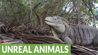Enormous iguana rules resort like a boss