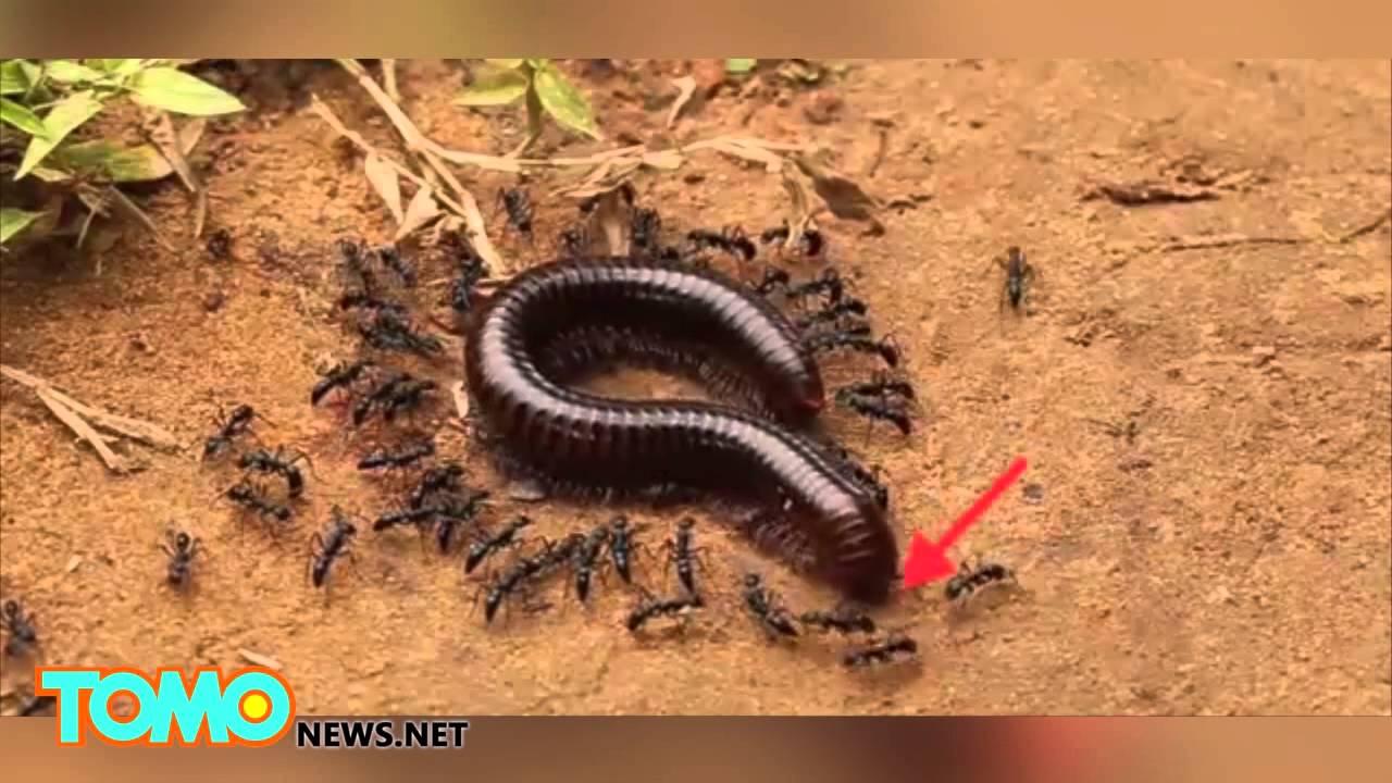 أم أربع وأربعين تتعرض للهجوم من قبل المئات من النمل الأزرق Youtube