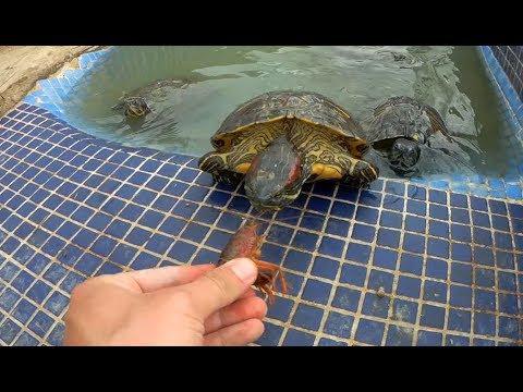 Rescate de cangrejos para dárselos de comer a mis tortugas!