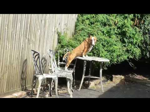 What do your Miniature Bull Terriers do when you are not watching?
