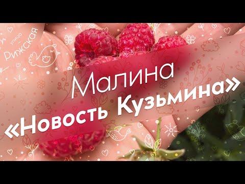 Малина «Новость Кузьмина» 🌿 Обзор раннего сорта малины | хозяйство | растения | полезные | домашнее | урожай | советы | огород | малина | плоды | уход