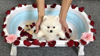 Banhando o filhote de cachorro fofo da Pomerânia com rosas | MR PET