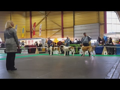 Сенбернар (ч.3/3), выставка собак ZooExpo 2016. Saint Bernard, Baltic Winner 2016 FCI CACIB Dog Show