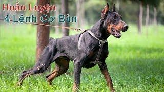 T3: Huấn Luyện 4 Lệnh Cơ Bản / Giống Chó đẹp Doberman/ NhamTuatTV-Dog in Vietnam