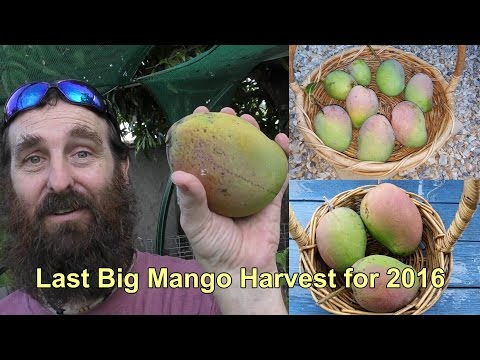 Mango Harvest & the Wildlife we Share it With.