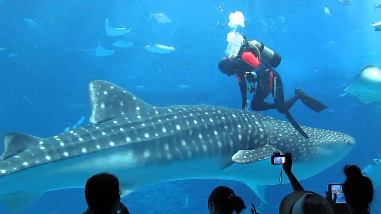 Fish tank japan - Japan 2014 Churaumi Aquarium Main Tank Diver And Whale Sharks