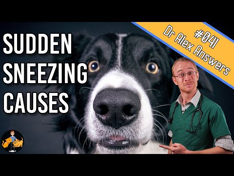Why is My Dog Sneezing Uncontrollably? - Dog Health Vet Advice