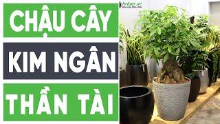 Chậu composite cao cấp Anber trồng cây kim ngân Thần Tài - www.Garden.Anber.vn