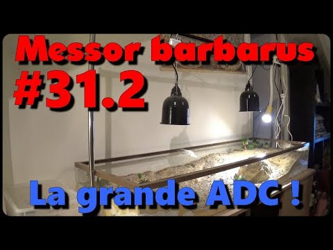 Blog Messor barbarus # 31.2 - Construction de l'adc et installation des nids