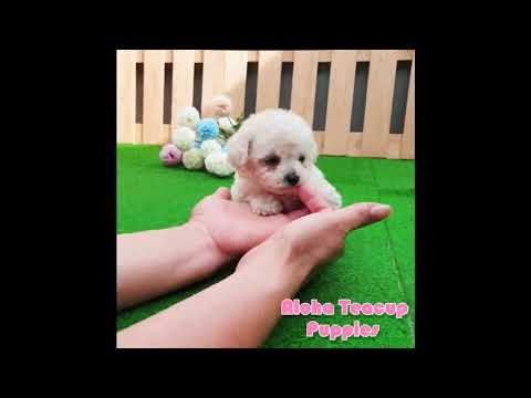 Mini Teacup Poodle Puppies For Sale [Tiffany]