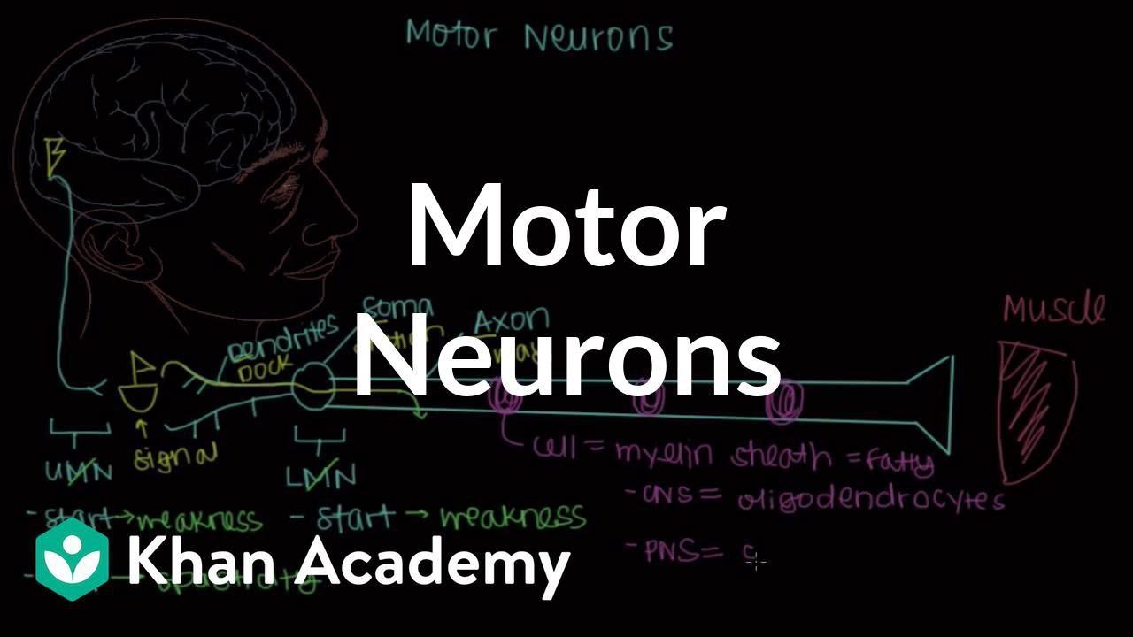 Motor neurons (video) | Khan Academy