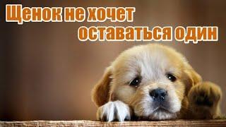 Щенок не хочет оставаться один / If the Puppy Cry alone
