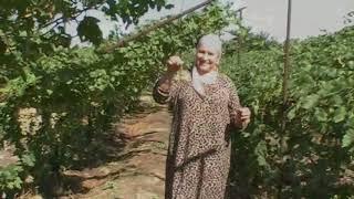 Зубутли-Миатли. Я в гостях у Айшат. Ну, очень сладкий виноград.