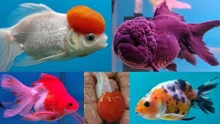 Gold Fish Types At Lovely Aquarium Fish Shop Youtube