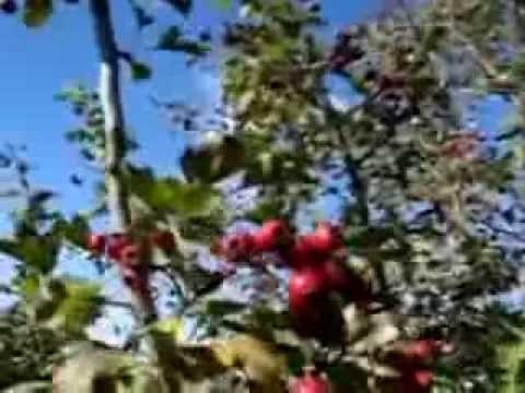 Боярышник - 3 рецепта приготовления пошагово -