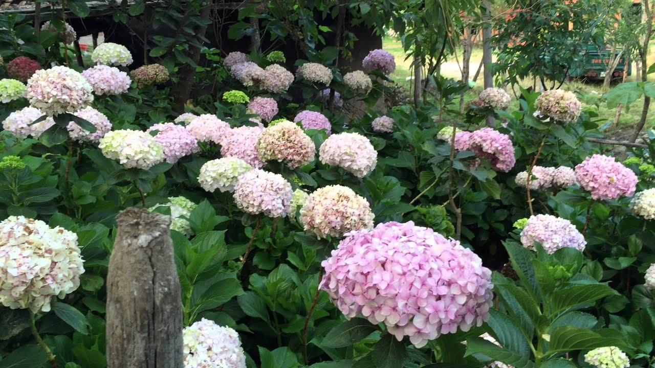 El jard n de las hortensias cajamarca peru youtube - Cuidados de las hortensias ...