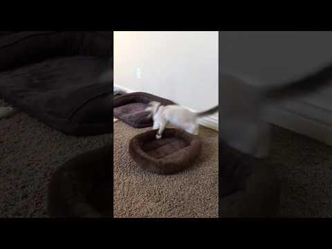 Kitten Attacks Cat Bed - Ragdoll Belle