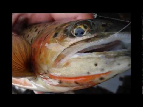 Colorado Fly Fishing for Cutthroat Trout