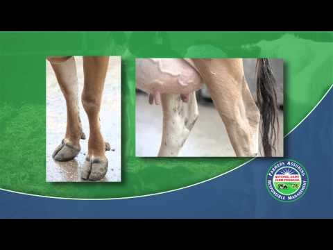 How to Score Hock and Knee Lesions on a Dairy Cow (2013)