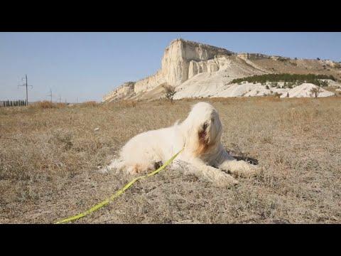 Крымский барак стал южнорусской овчаркой