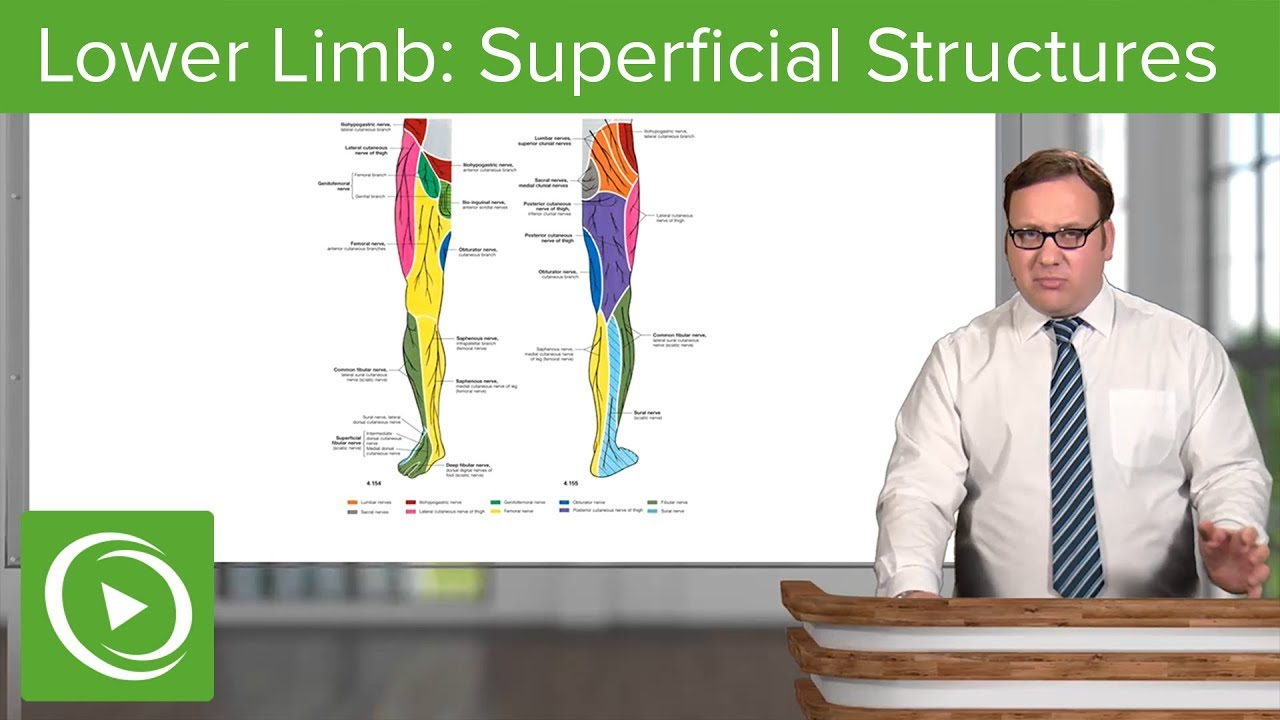 Lower Limb: Superficial Structures & Cutaneous Innervations – Anatomy | Lecturio
