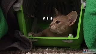 Кошка после стерилизации. Наша Мотя