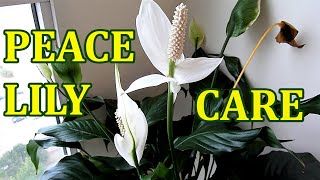 Peace Lily - How To Care Indoor House Plant Spathiphyllum - Best Indoor Houseplant