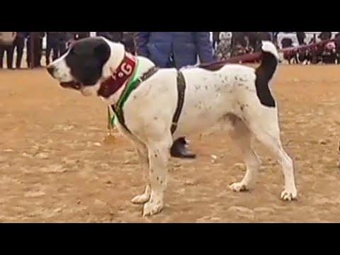 Легендарные действующие  чемпионы Туркмении и областей Champions Dogs Alabai Туркменский Волкодав