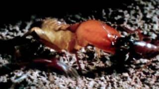 Ants VS Termites BATTLE