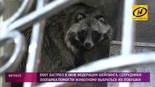 Енотовидную собаку обнаружили в центре Витебска