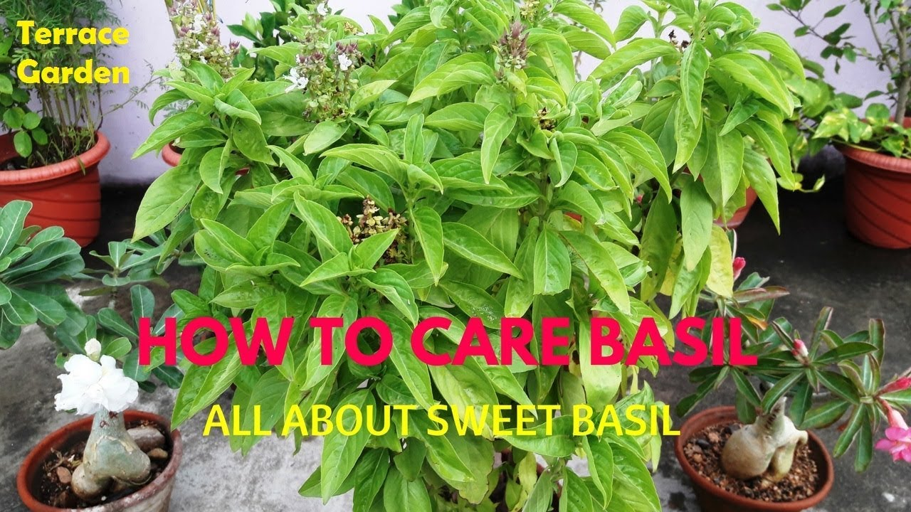 how to care basil how to prune basil all about sweet basil care and tips hindi urdu. Black Bedroom Furniture Sets. Home Design Ideas