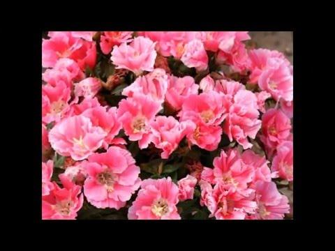Годеция, изумительный цветок.