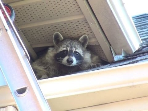 Raccoon Mom Collects Baby From Gates' Reunion Box