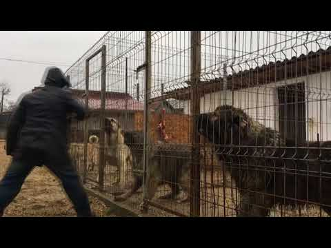 turkish dog breed Kangal breeding in Switzerland