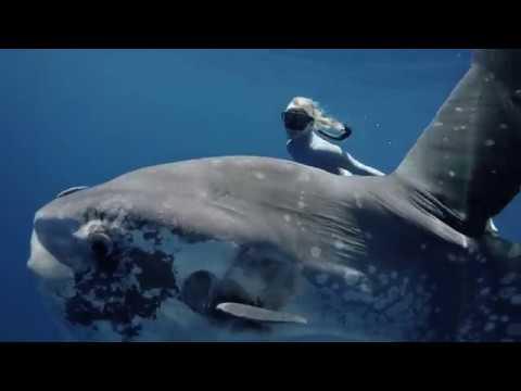 Freedivers encounter Mola mola off Kona, Hawai'i (filmed by Kurt Chambers)