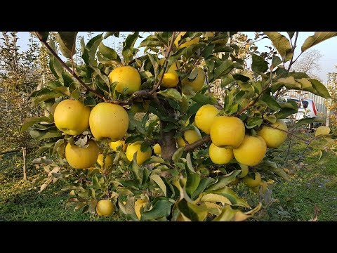 яблоня Голд раш / Apple Gold Rush