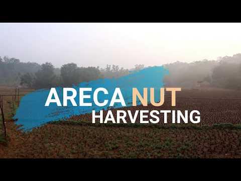Areca Nut Harvesting | Part -1