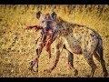 National Geographic Documentary African Wild Dog Wildlife Animal Documentary