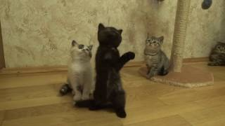 Шотландские клубные котята редких окрасов