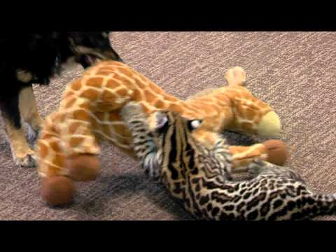 Ocelot Kitten Santos and Dog Blakely Play One on One - Cincinnati Zoo