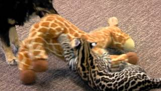 Ocelot Kitten and Dog Blakely Play One on One - Cincinnati Zoo