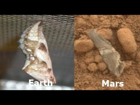 Insect Cocoon Found On Mars Near Rover