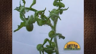 Q&A – What is wrong with my tomato plants? The leaves are misshapen and curled?