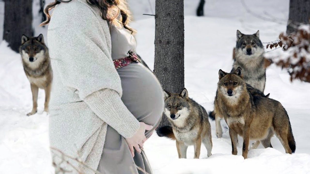 Wolf pack rescued a pregnant woman in a forest in winter. What happened to her shocked everyone!