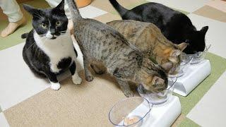 「食べていいよ」が分からない猫